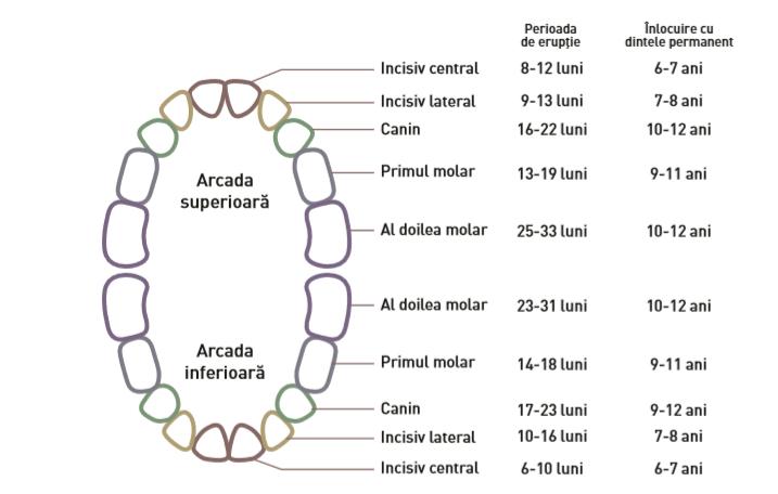Reprezentare grafica a arcadelor dentare si perioadele in care erup dintii de lapte
